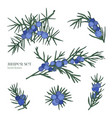 Juniper set detailed hand drawn branches with