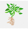 mature soybean plant icon cartoon style vector image