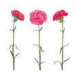 set three carnation vector image vector image