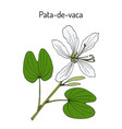brazilian orchid tree or pata-de-vaca bauhinia vector image vector image