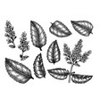 hand sketched mint botanical set with leaves and f vector image