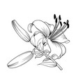 the blooming lily vector image vector image