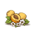 Apricots with flowers and leaves vector image