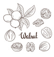 Walnuts with leaves and dried walnuts isolated on vector image vector image