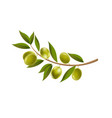 branch olives with leaf isolated white background vector image
