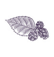 drawing branch muldberry tree vector image vector image