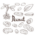 Peanuts kernels and leaves vector image vector image