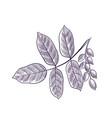 drawing branch pistachio tree vector image vector image