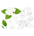 arabian jasmine outline vector image vector image