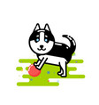 cute husky play with red ball vector image vector image