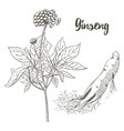 ginseng sketch on white background medicinal vector image vector image