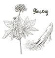 ginseng sketch on white background medicinal vector image