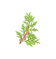 cypress branch and tree cupressus sempervirens vector image vector image