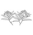 branch of arizona rosewood vintage vector image