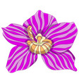 pink striped phalaenopsis vector image