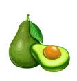 avocado fruit vector image vector image