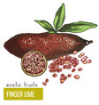finger lime with leaves and slice vector image vector image
