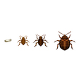 Bed bug life cycle - Cimex lectularius vector image