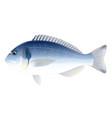 gilt-head bream fish vector image vector image