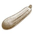 engraving zucchini squash vector image