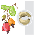 cashew branch with fruits and leaves vector image vector image
