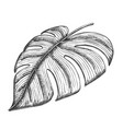 monstera tropical exotic leaf hand drawn vector image vector image