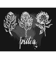 Watercolor isolated drawing exotic flower Protea vector image