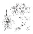Rosa Hugonis ink sketch vector image
