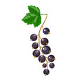 branch of black currant vector image