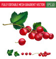 red currant on white background vector image