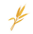 rye or wheat spikelets vector image vector image