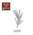 rosemary sketch hand drawing vector image vector image