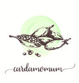 cardamom spice fruit with seeds hand drawn vector image vector image