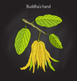 fingered citron citrus medica or buddha s hand vector image vector image