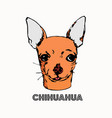 chihuahua head isolated on white background vector image