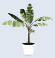 tropical plant in pot banana leaves house plant vector image