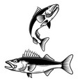 walleye fish sign on white background zander vector image