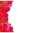 Color Frangipani Frame vector image vector image