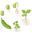 life cycle of green bean vector image vector image