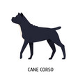 cane corso or italian mastiff large purebred dog vector image vector image