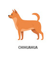 chihuahua adorable small purebred toy dog or vector image vector image