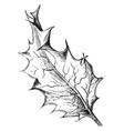 Ilex aquifolium vintage