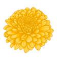 beautiful yellow chrysanthemum flower effect vector image vector image