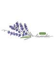 lavender plant bunch branch vector image