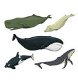 blue whales marine creatures finback vector image