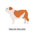 british or english bulldog cute lovely dog of vector image