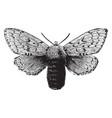 female gipsy moth vintage vector image vector image