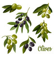 olives on branches green and black olives leaf vector image