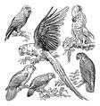Vintage engraving parrots