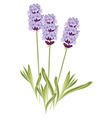 Lavender flowers vector | Price: 1 Credit (USD $1)